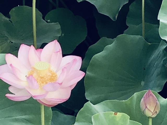 lotus_tenryuji